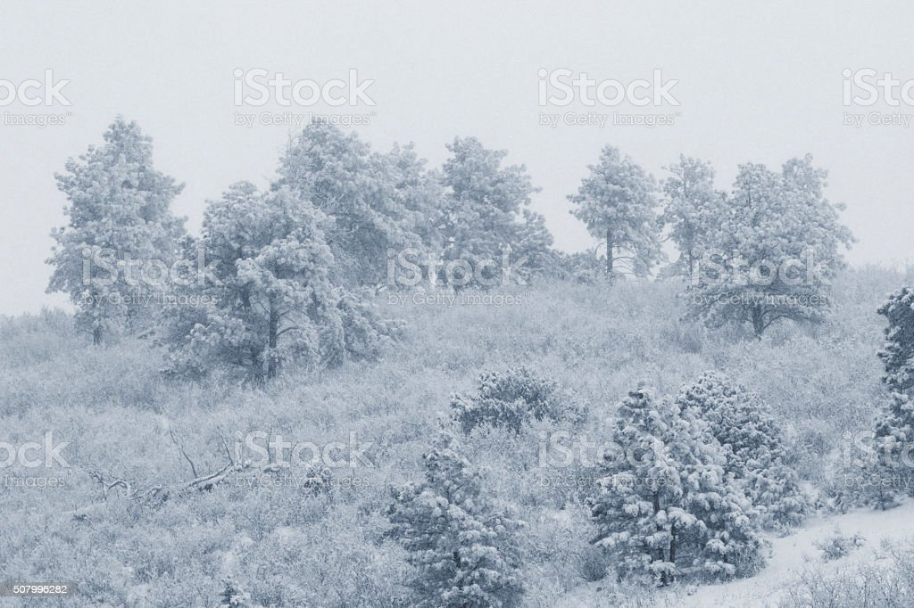 Snowfall in the Pike National Forest stock photo