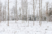 Snowfall in winter forest landscape