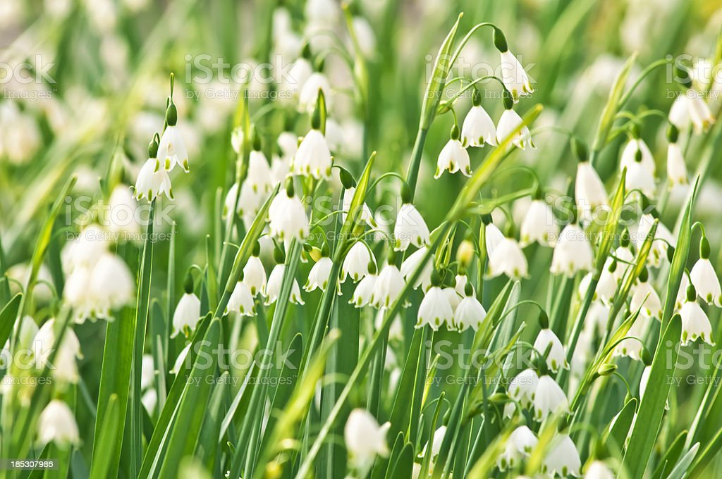 Snowflake (Snowdrop) flowers - V stock photo