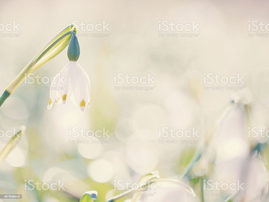 Snowflake Snowdrop spring stock photo