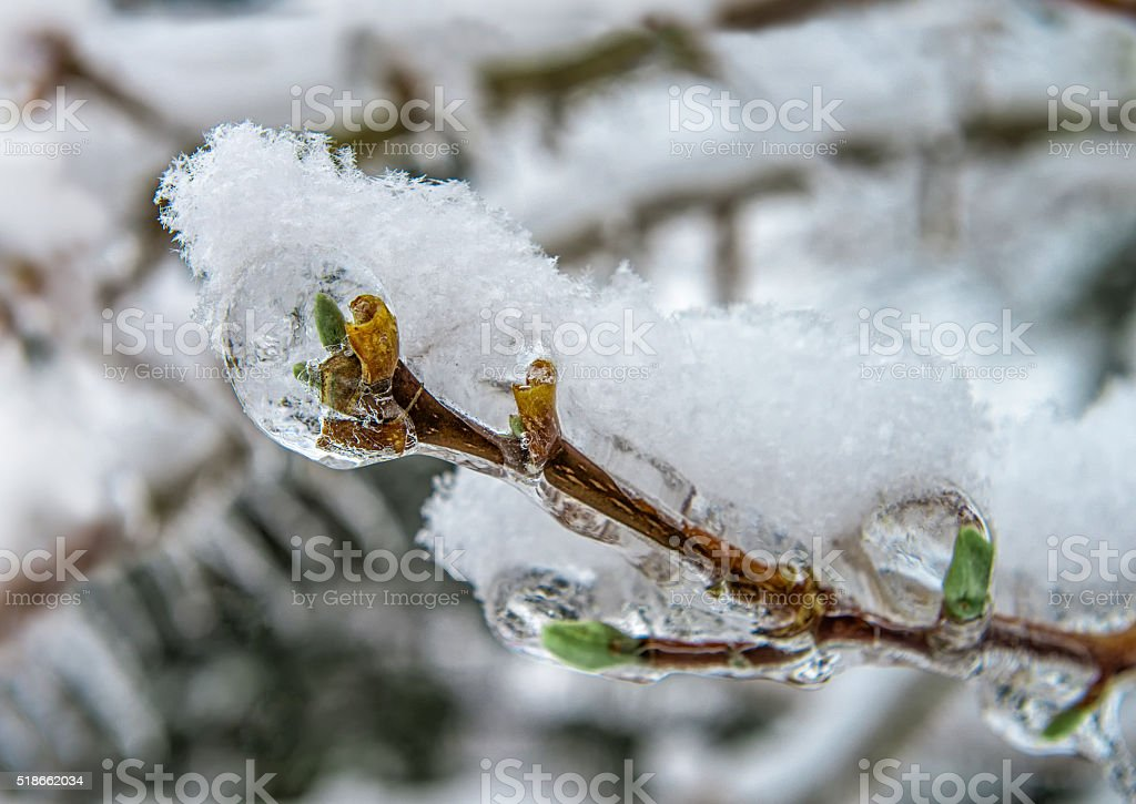 Snowflakes on the frozen green tree buds close up stock photo