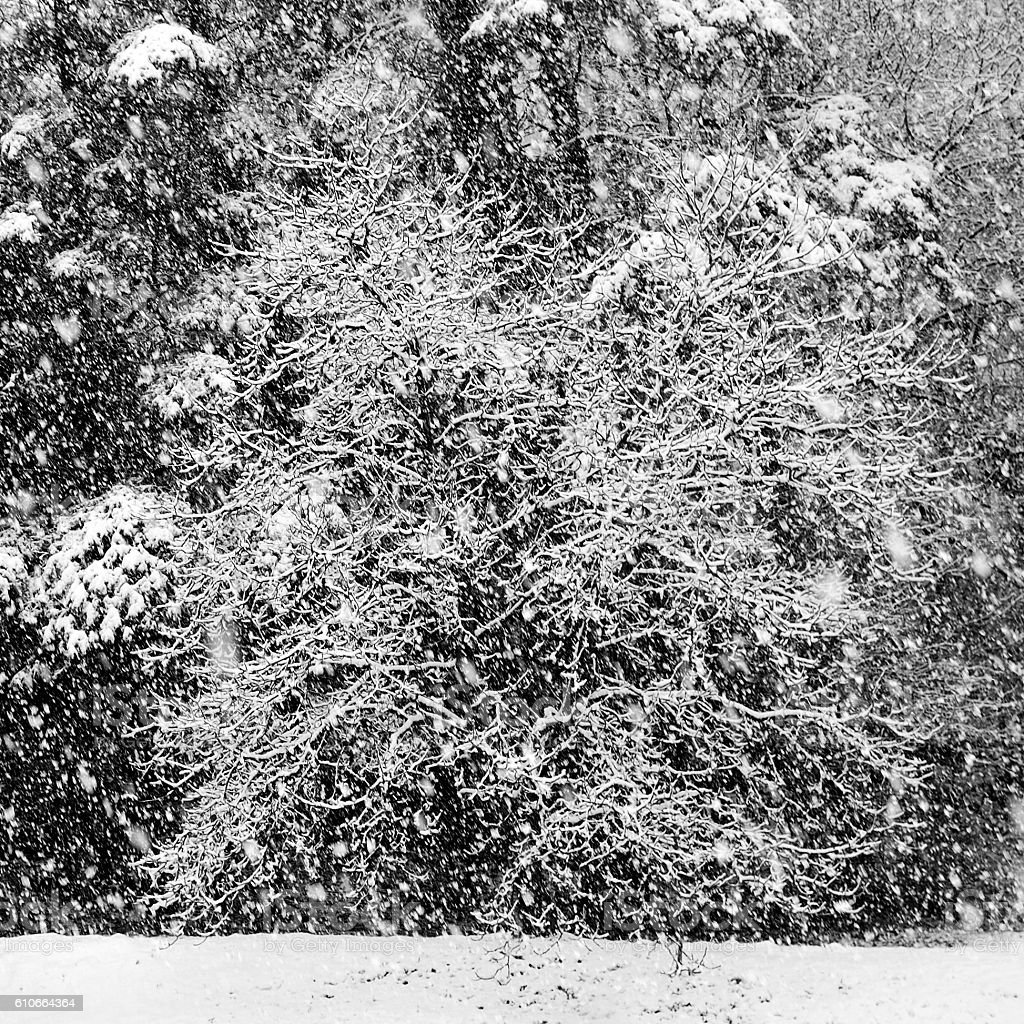 snowing in winter: wallnut tree and forest stock photo