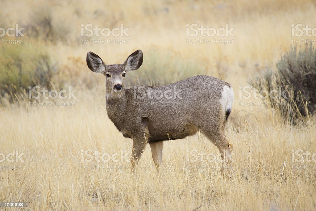 Snowing on a blacktail royalty-free stock photo