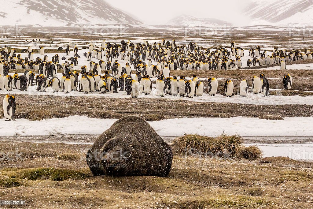 Snowing on fur seal and king penguins stock photo