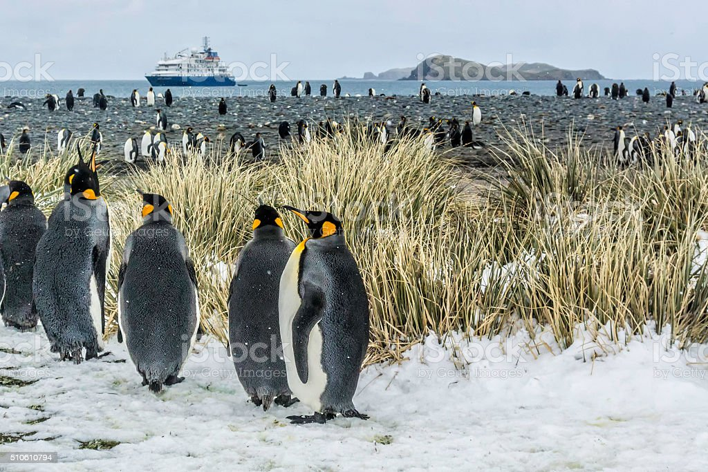 Snowing on King Penguins, Salisbury Plain on South Georgia Island stock photo