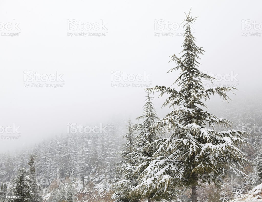 Snowing over pine trees royalty-free stock photo