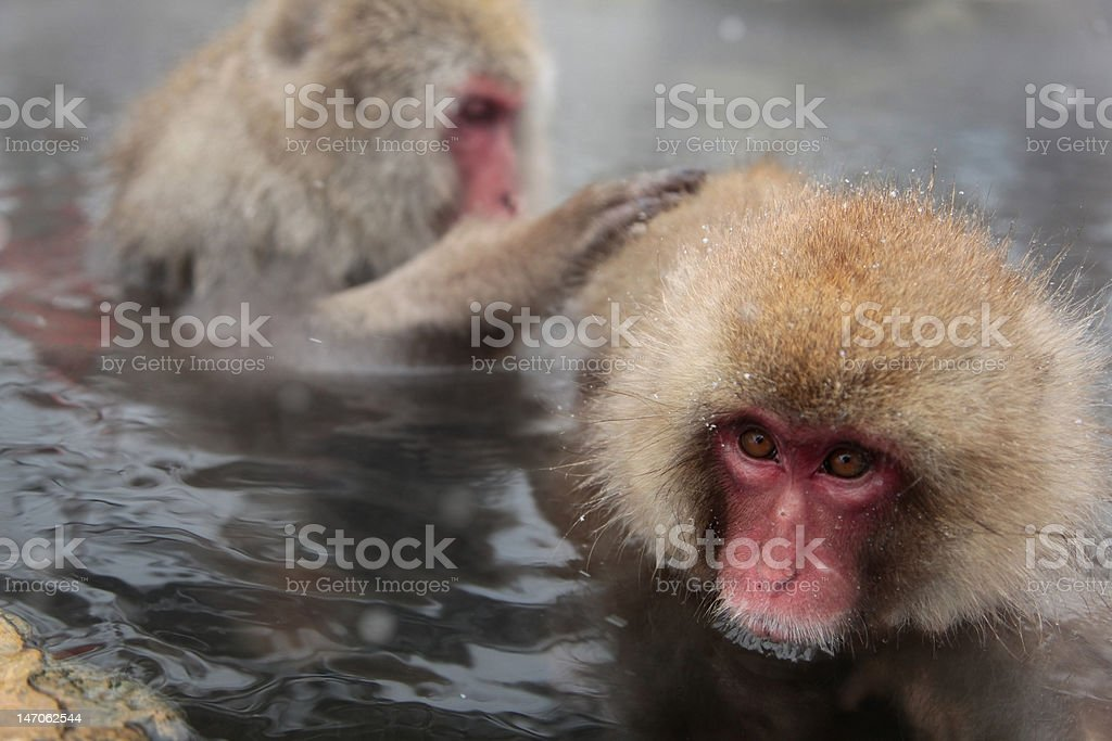 snow monkey in hot spring royalty-free stock photo