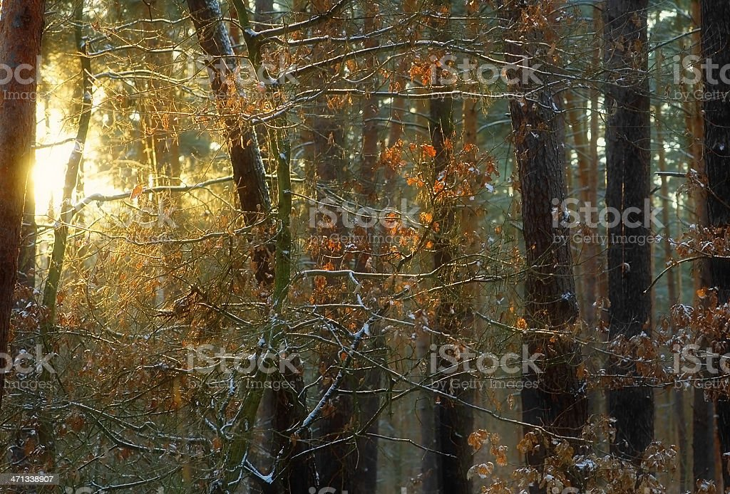 snowset at winter landscape in pine forest stock photo
