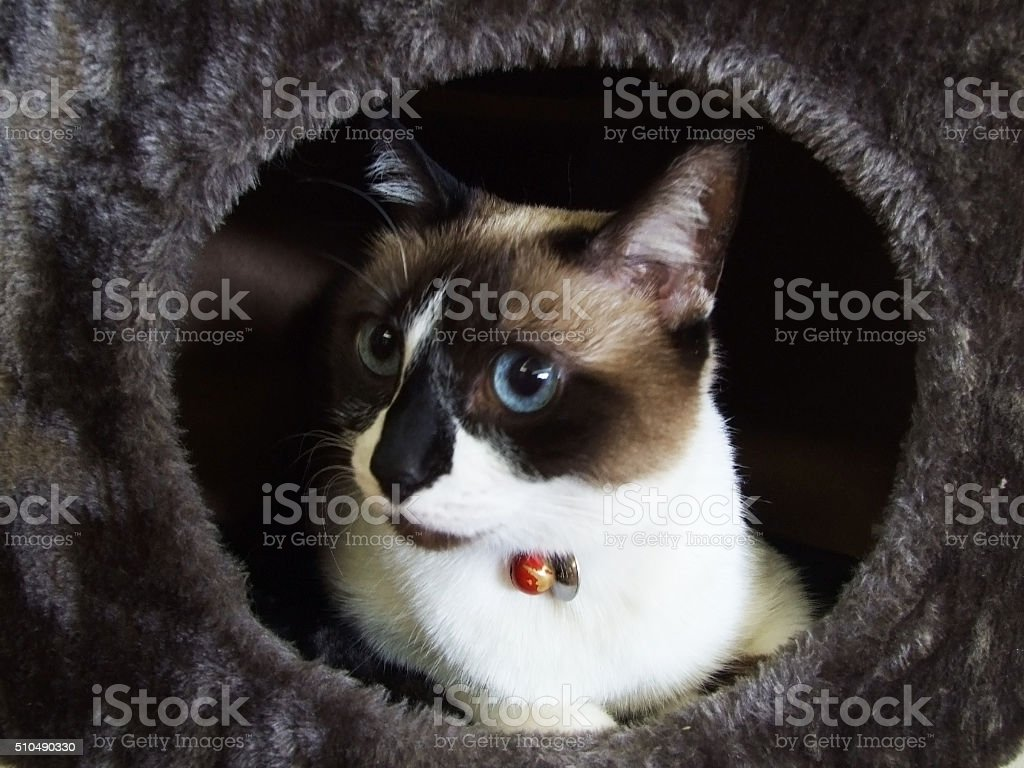 Snowshoe cat on a cat tree stock photo