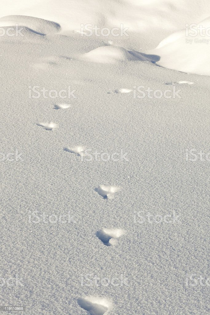 snowshoe hare tracks in the snow royalty-free stock photo