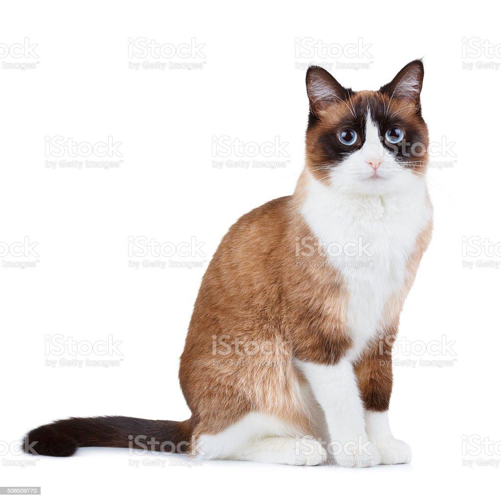 Snowshoe thai cat stock photo