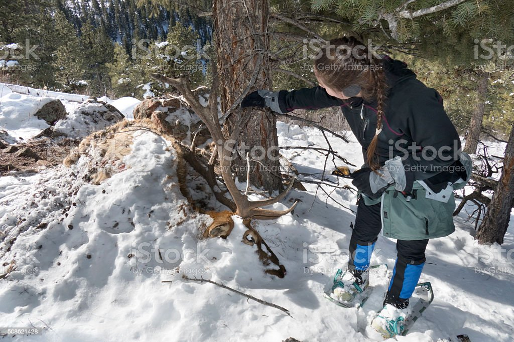 Snowshoeing woman inspects massive winter kill bull elk Evergreen Colorado stock photo