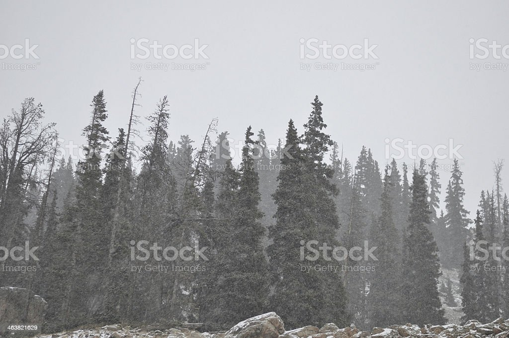 Snowstorm in Colorado Forest stock photo