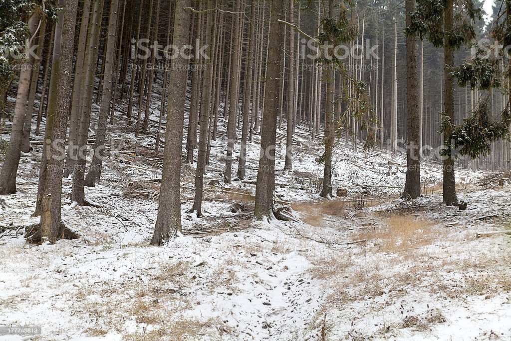 snowstorm in coniferous forest royalty-free stock photo