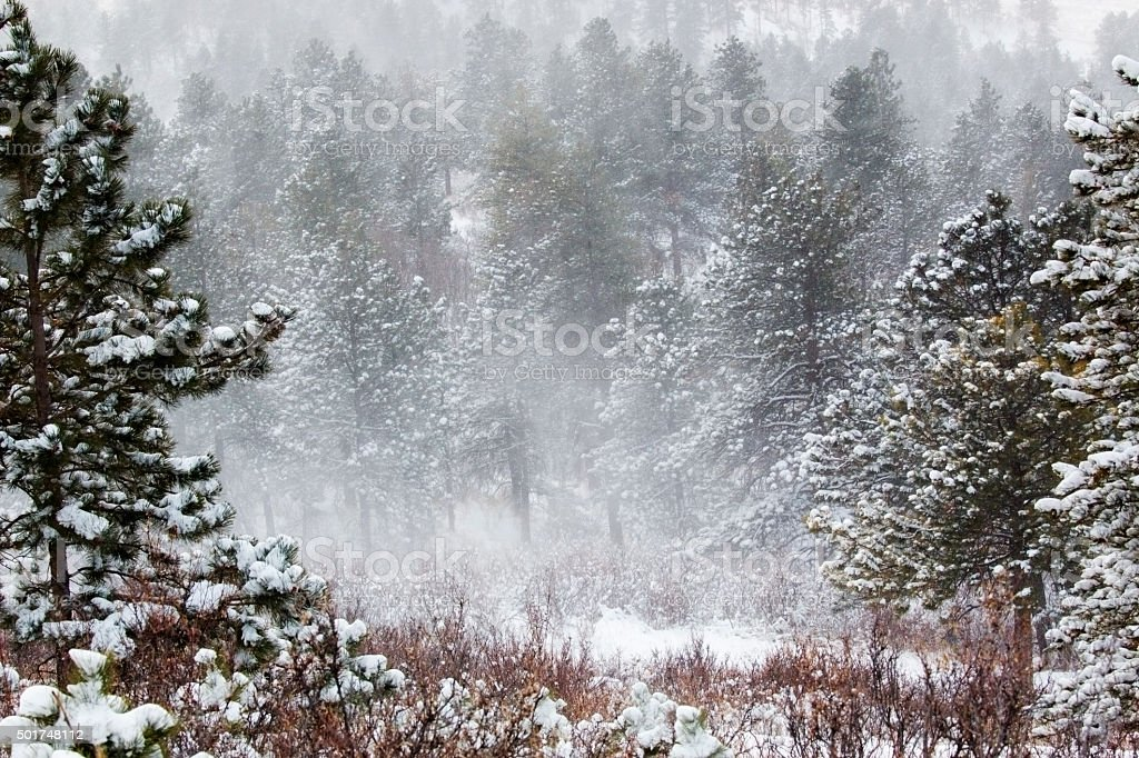 Snowstorm in the Pike National Forest stock photo