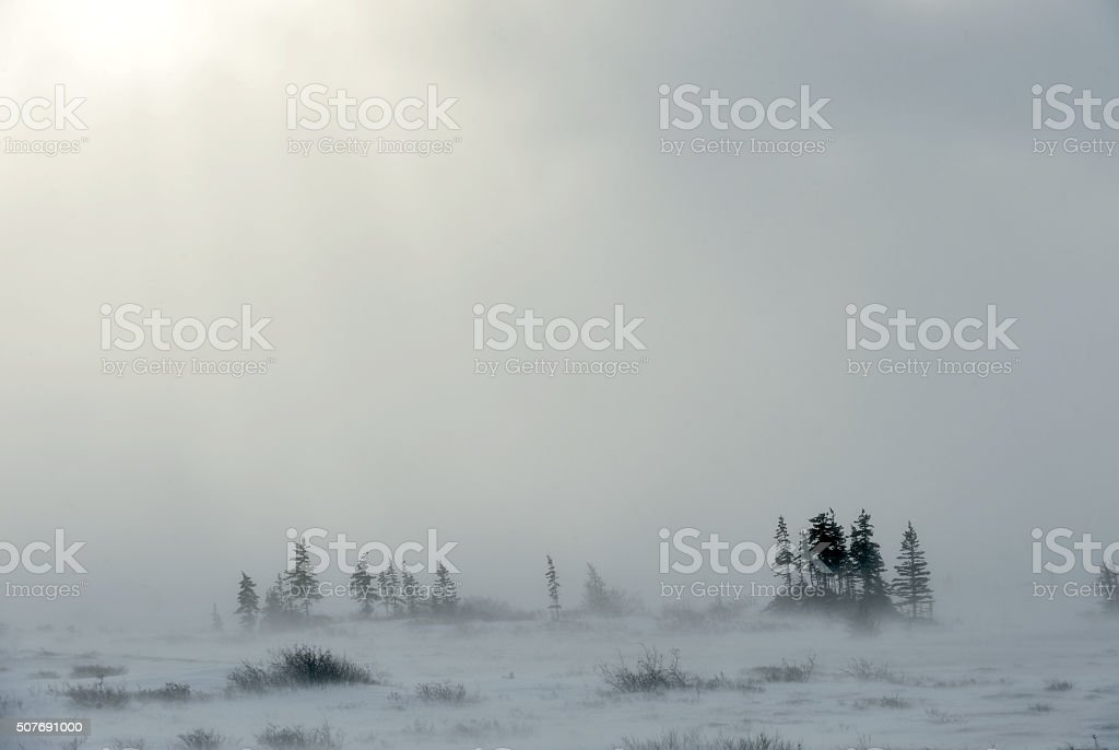 Snowstorm in tundra landscape with trees. stock photo