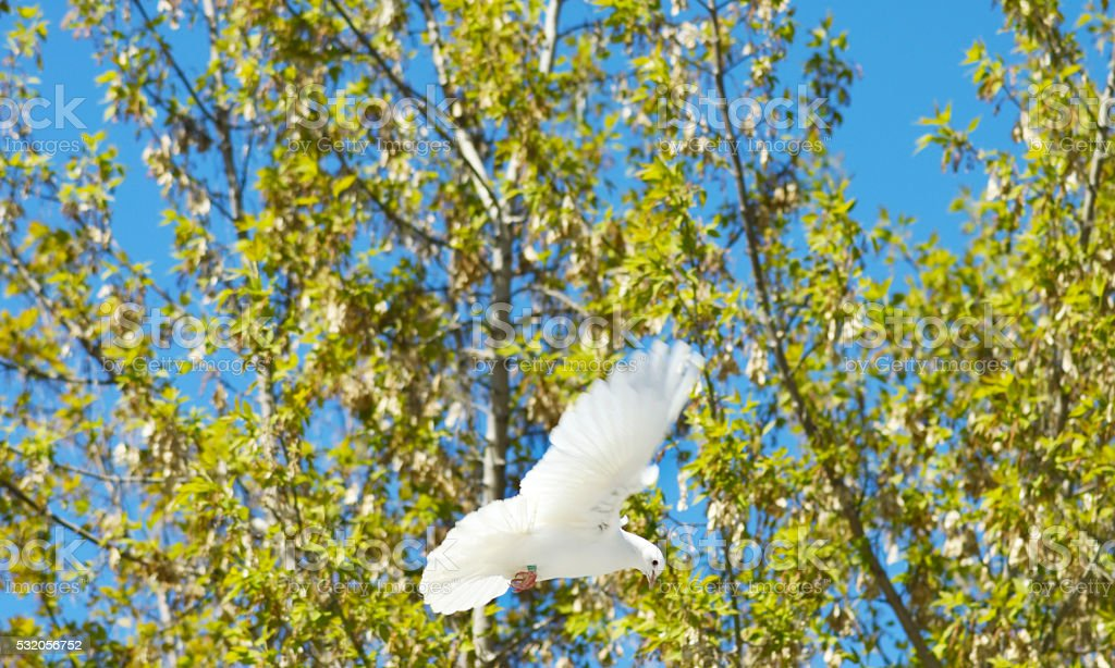 snow-white dove in flight above trees stock photo
