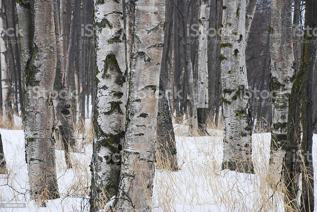 Snowy Birch Woods royalty-free stock photo