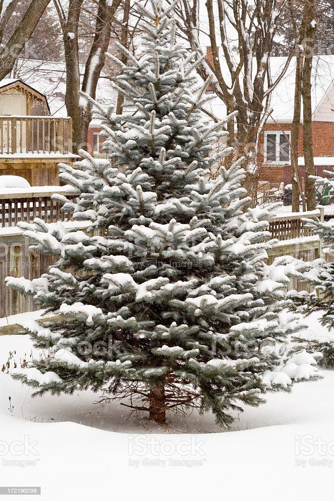Snowy Blue Spruce royalty-free stock photo