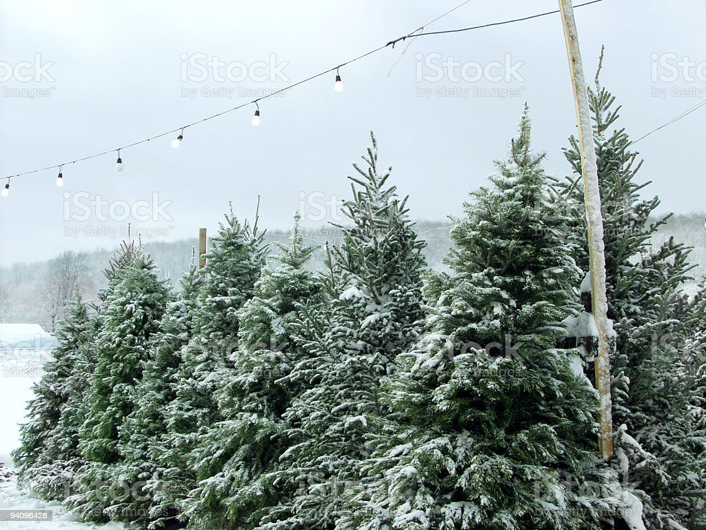 Snowy Christmas trees under outdoor fairy lights stock photo