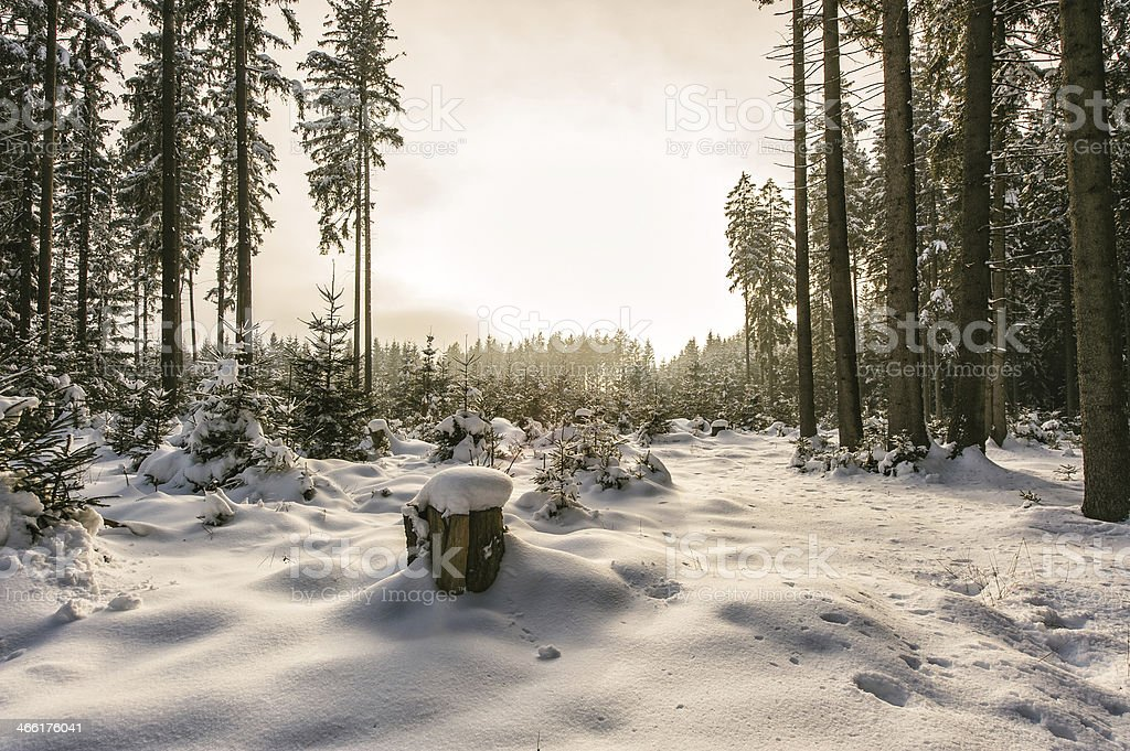 Snowy conifer tree forest stock photo