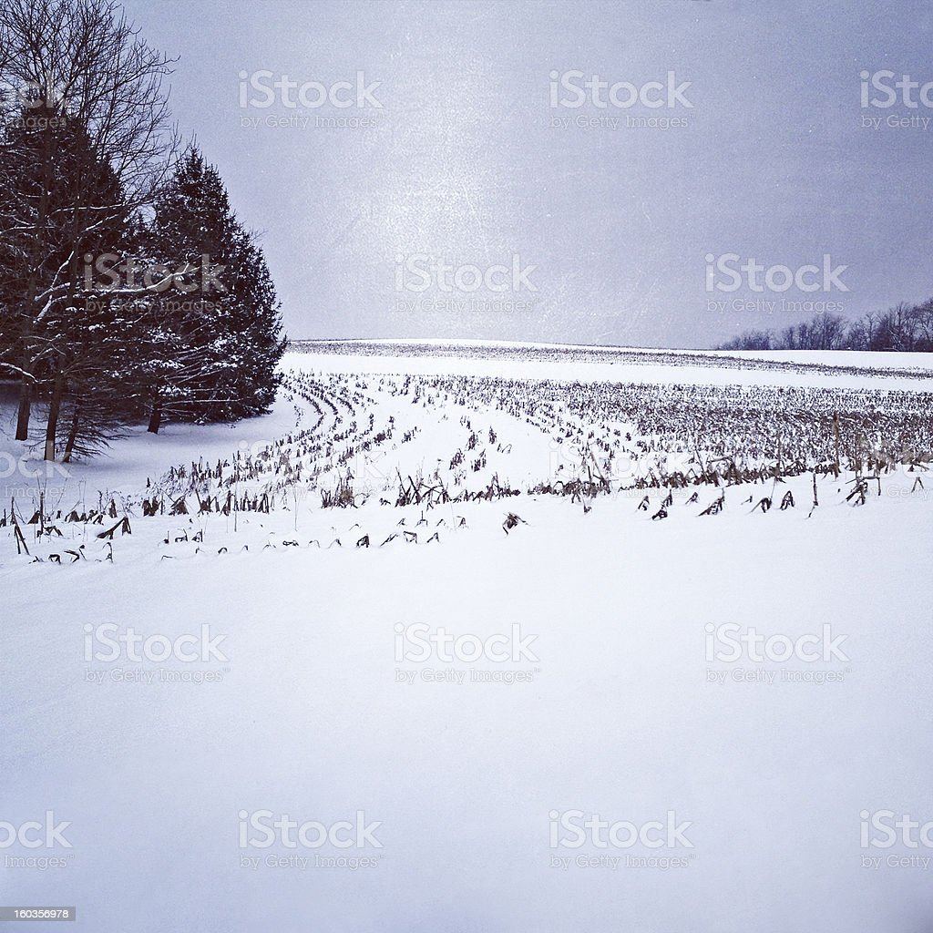Snowy Cornfield stock photo