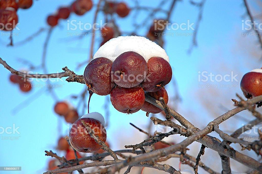 Snowy Crabapples royalty-free stock photo