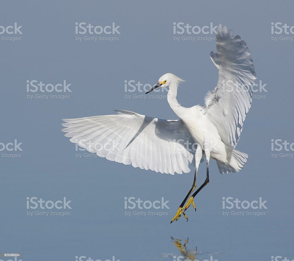Snowy Egret about to land stock photo