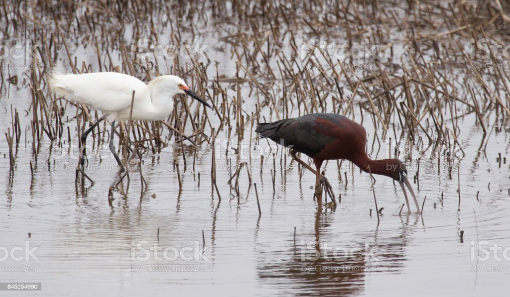 Snowy Egret and a Glossy Ibis stock photo