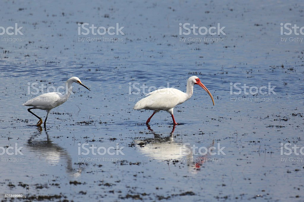 Snowy Egret and  White Ibis wading in a shallow marsh. stock photo
