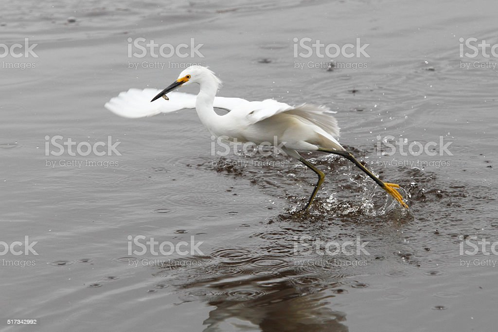 Snowy Egret (Egretta thula) catching fish, Merritt Island NWR, Florida stock photo
