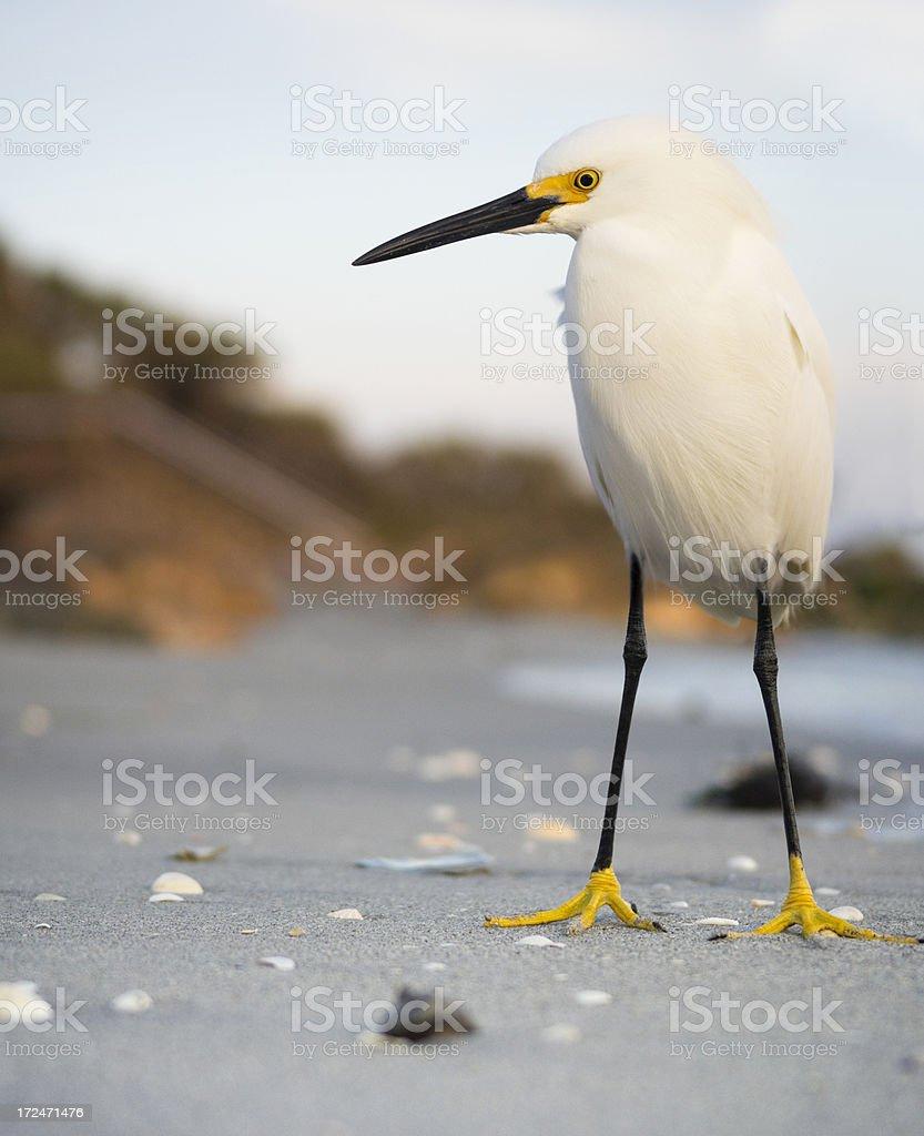 snowy egret - composite royalty-free stock photo