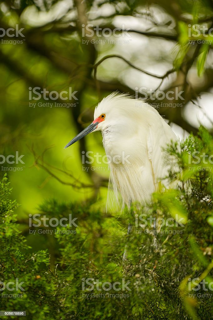 Snowy egret during breeding season with its red bill stock photo
