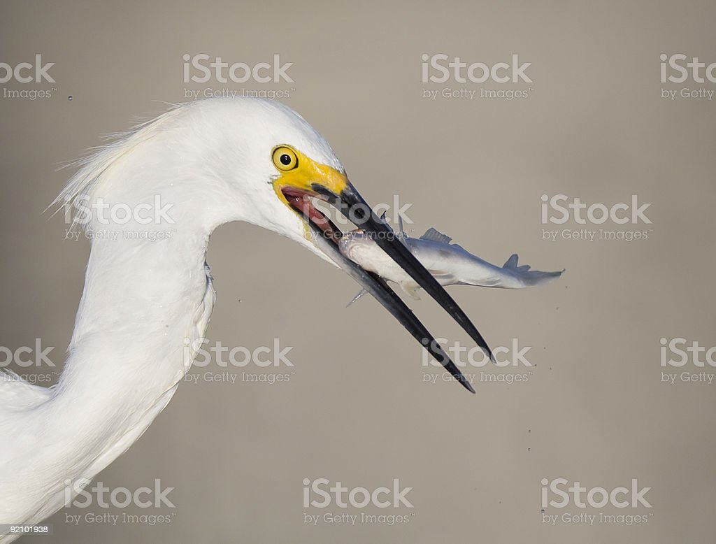 Snowy Egret eating a fish stock photo