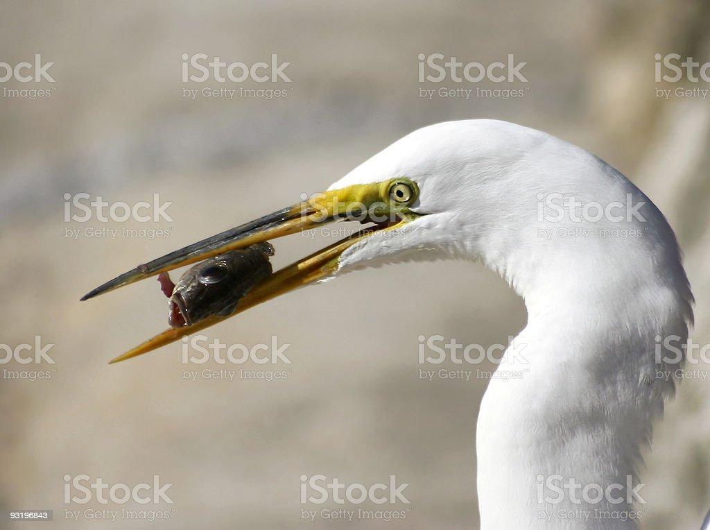 Aigrette neigeuse manger un poisson photo libre de droits