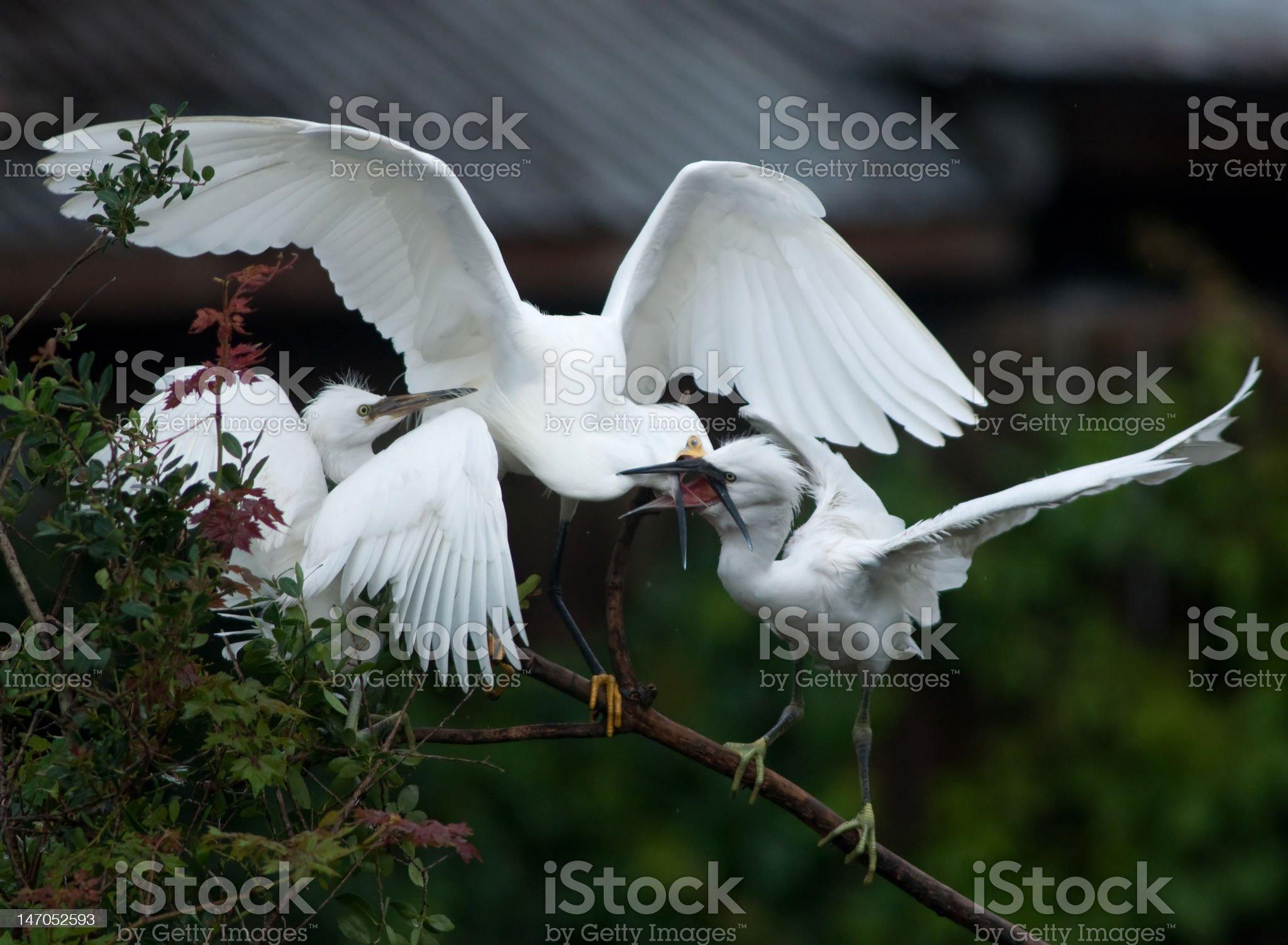 Snowy Egret feeding royalty-free stock photo