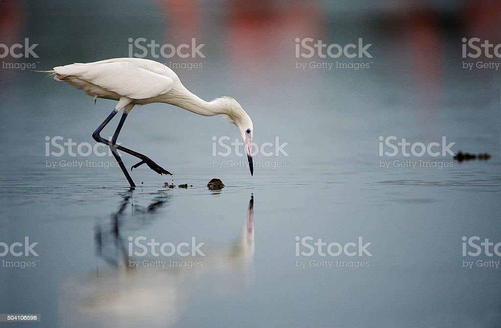 Snowy Egret fishing stock photo