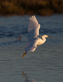 Snowy egret flying in the warm sunset light