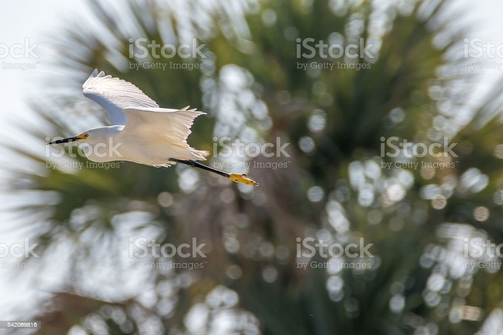 Snowy Egret Flying, Merritt Island National Wildlife Refuge, Flo stock photo