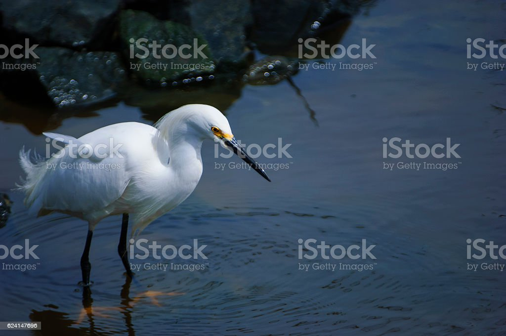 Snowy Egret Foraging on Rocky Shore stock photo
