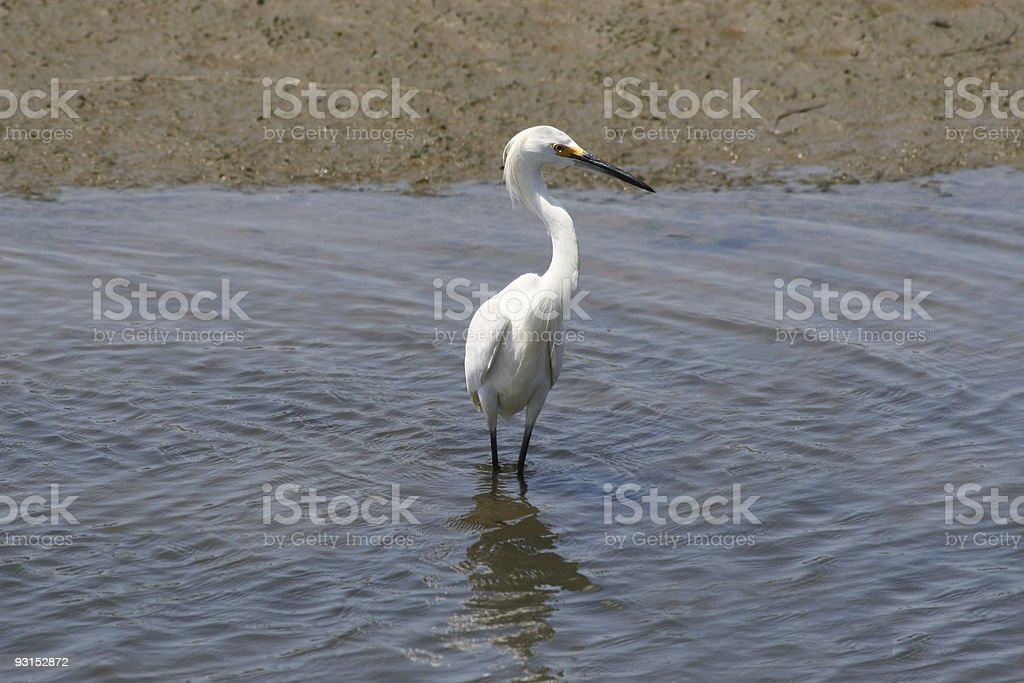 Snowy Egret Front View royalty-free stock photo