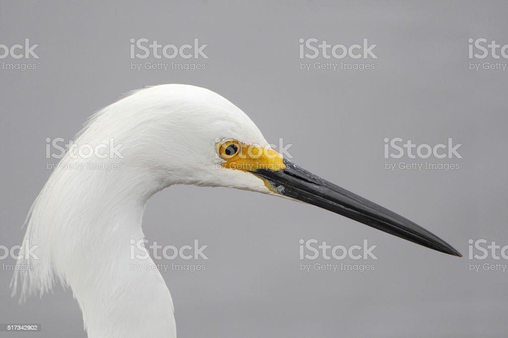 Snowy Egret (Egretta thula) head portrait, Merritt Island NWR, Florida stock photo