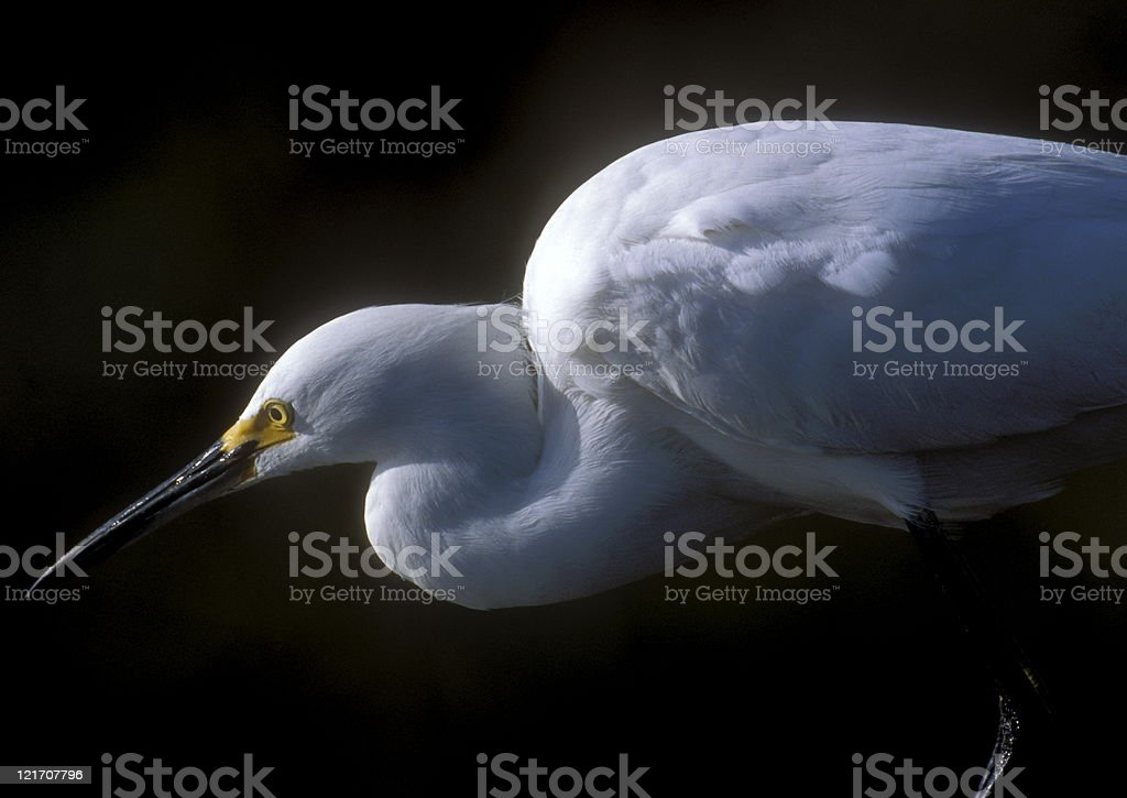 Snowy Egret hunting royalty-free stock photo