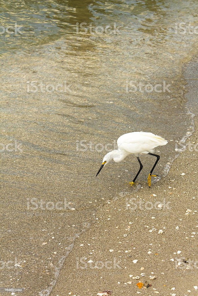 Snowy Egret Hunting stock photo