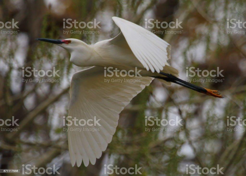 Snowy Egret in Flight stock photo