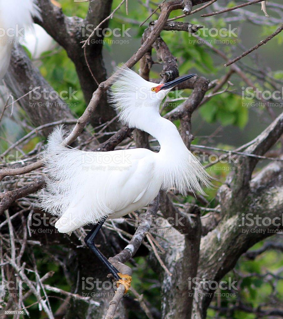 Snowy Egret in Full Breeding Plummage stock photo
