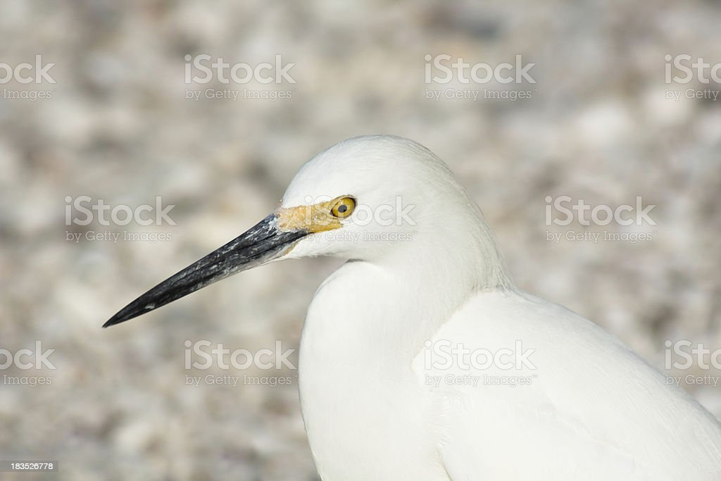Snowy Egret in Profile stock photo