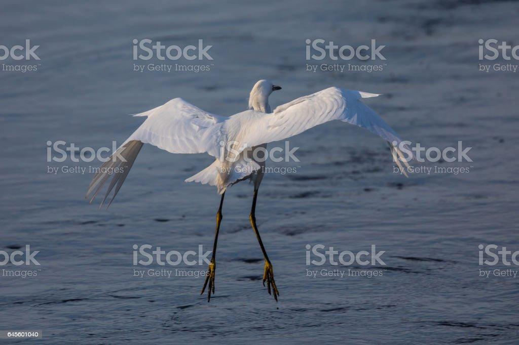 Snowy egret landing at a North California marsh stock photo