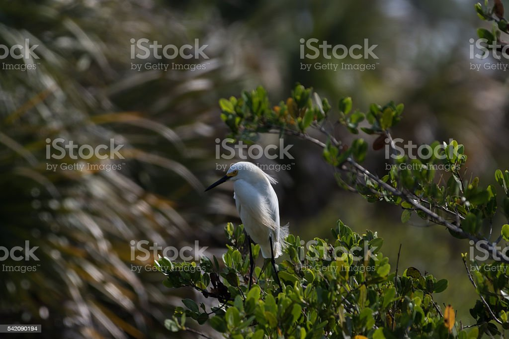 Snowy Egret, Merritt Island National Wildlife Refuge, Florida stock photo
