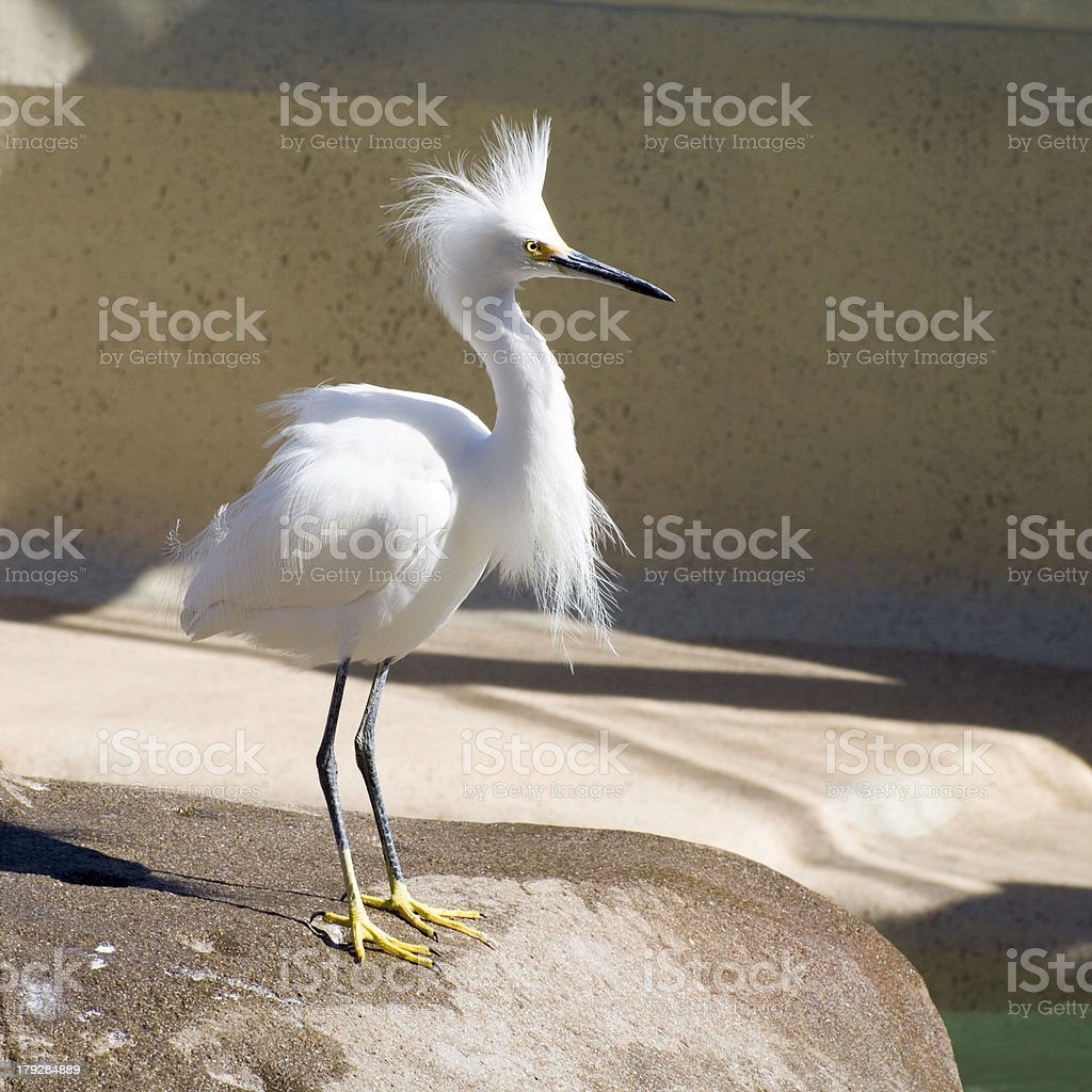 Snowy Egret - Nice Plumes stock photo